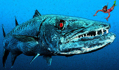 Barracuda illustration